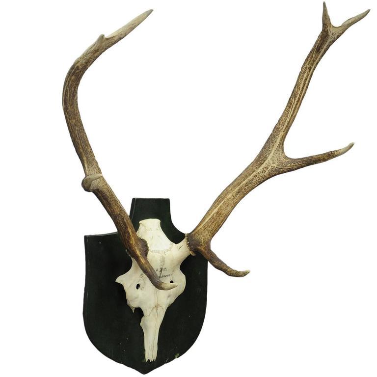 Antique Black Forest Deer Trophy from Salem, Germany, 1935
