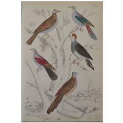 Original Antique Print of Exotic Birds 'Columba Pigeons,' circa 1830, Folio