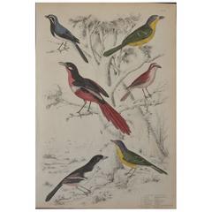 """Original Antique Print of Exotic Birds """"Shrikes"""", circa 1830, Folio"""