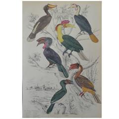 Original Antique Print of Exotic Birds 'Hornbills,' circa 1830, Folio