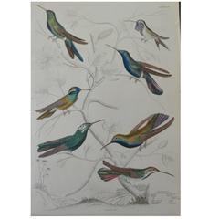 Original Antique Print of Exotic Birds (Hummingbirds) Folio, circa 1830