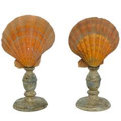 Wunderkammer Natural Specimen Pair of Mediterranean Shells by Nodipecten Nodosus