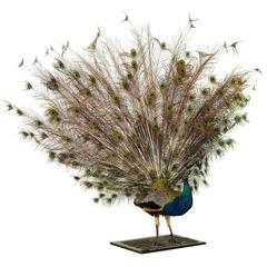 Stuffed and Mounted Male Indian Blue Peacock, 20th Century