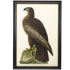 """Bird of Washington"" Plate 11, Amsterdam Audubon Edition"