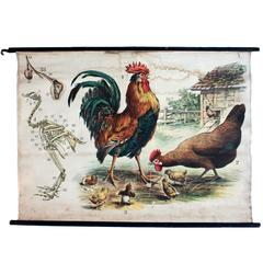 Chicken, Engleders Wall Charts, Lithograph by J. F. Schreiber, 1893