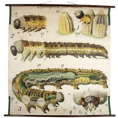 Early 20th Century Paul Pfurtscheller Zoological Wall Chart, Caterpillar, 1908