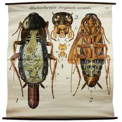 Cockroach Wall Chart by Paul Pfurtscheller, 1920s