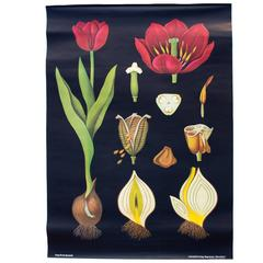 Vintage Wall Chart, Tulip from Jung-Koch-Quentell, 1974