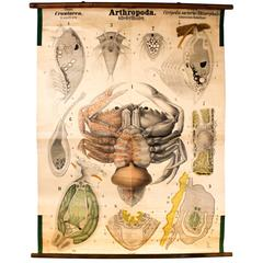 Rare Antique Wall Chart, Crawfish by Rudolf Leuckart, 1885