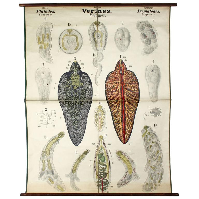 Rare Wall Chart, Eschners Anatomical Wall Chart, 1911 For Sale at ...