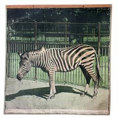Vintage Wall Chart Zebra, 1916
