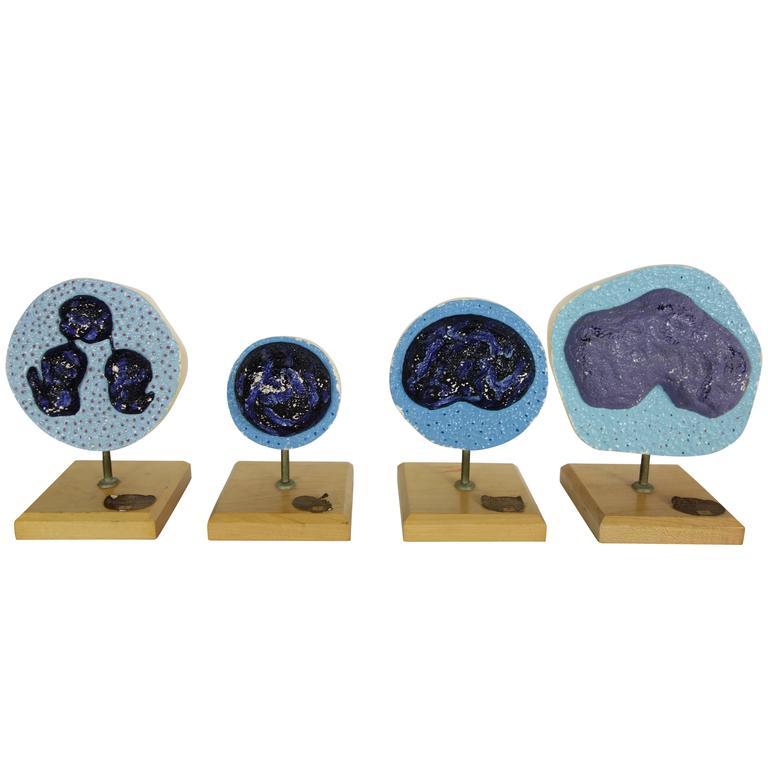 Set of Four Mueller-Ward 3d Cellular Mitosis Biology Models Copyright, 1941