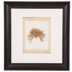 Framed, 19th Century Original Pressed Seaweed