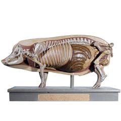 Early Anatomical Model of a Pig