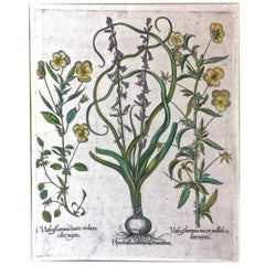 17th C. Basilius Besler Engraving of Pansies and Hyacinths