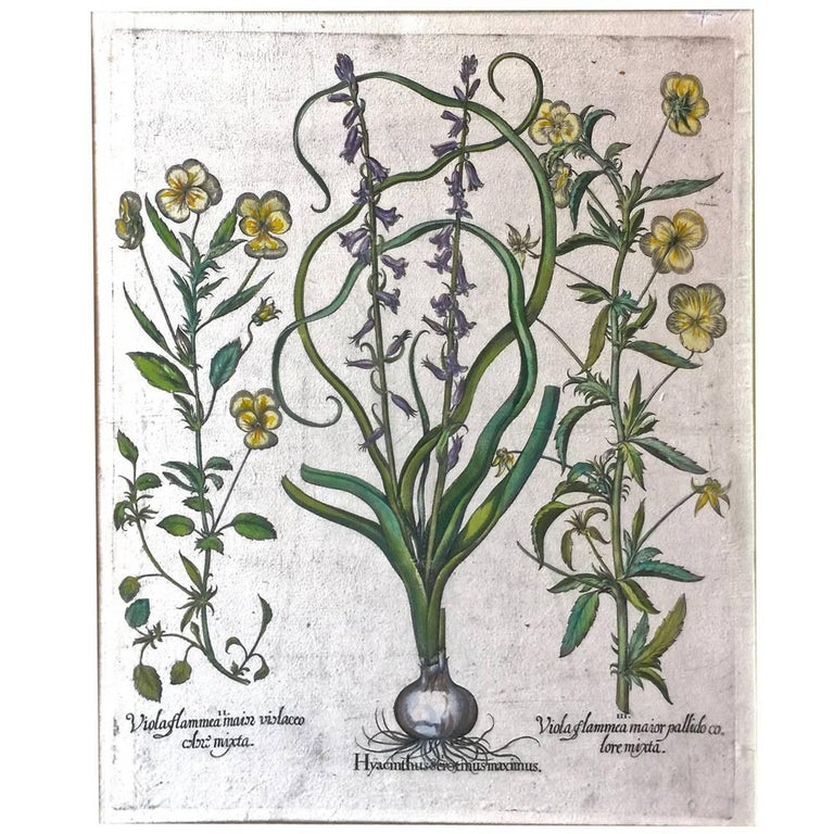 17th C. Basilius Besler Engraving of Pansies and Hyacinths For Sale