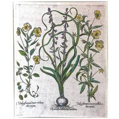 17th C. Basilius Besler Engraving of Pansies and Hyacinths