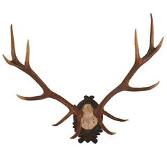 Early 1900s Black Forest Fallow Deer Antlers Trophy from Austrian Hunt Lodge