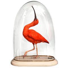 Fine Taxidermy Scarlet Ibis by Sinke & Van Tongeren