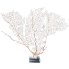 Cream Sea Fan