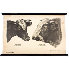 """Wall Chart by Dr. G Pusch, """"Anatomie of Cows"""", 1901"""