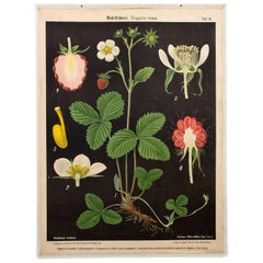 Wall Chart, Wild Strawberry, Prof. Dr. Pilling, 1916