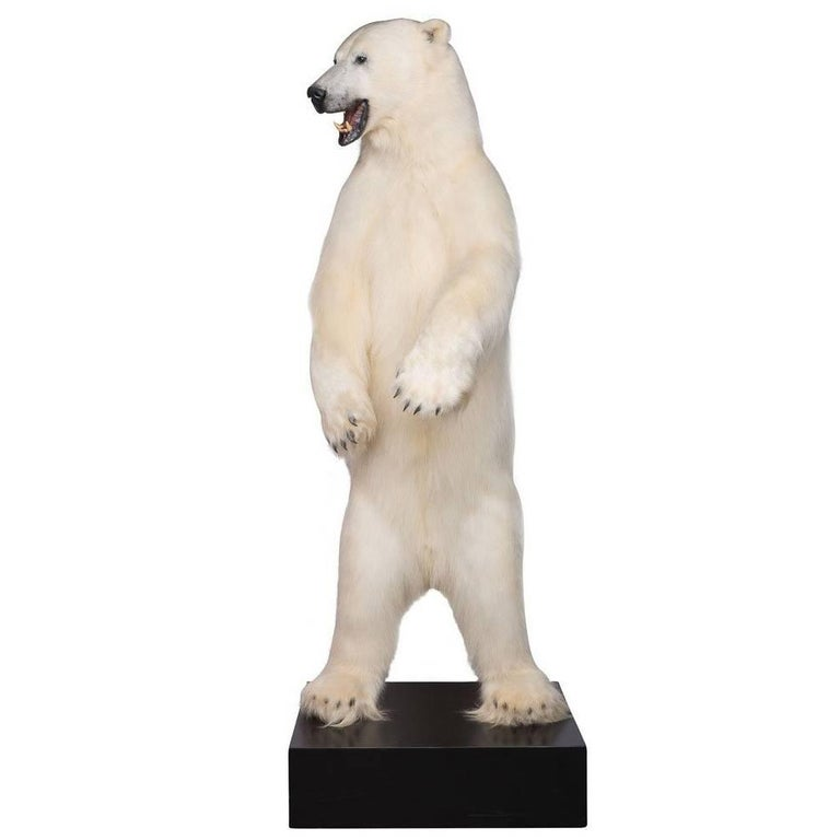Exceptional Taxidermy Full Size Standing Polar Bear