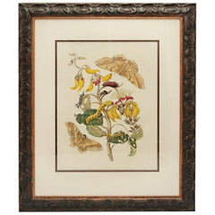 Hand Colored Engravings by Maria Sybilla Merian