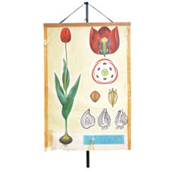 Rare School Poster of Tulips, Czechoslovakia circa 1960