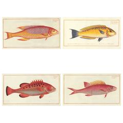 Set of Four Hand-Colored Fish Prints by Bloch, 1797