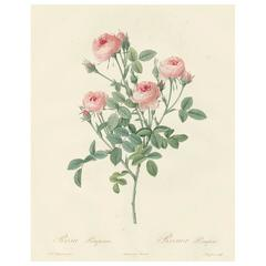 Rosier Pompon Engraving from Les Roses by Pierre-Joseph Redouté