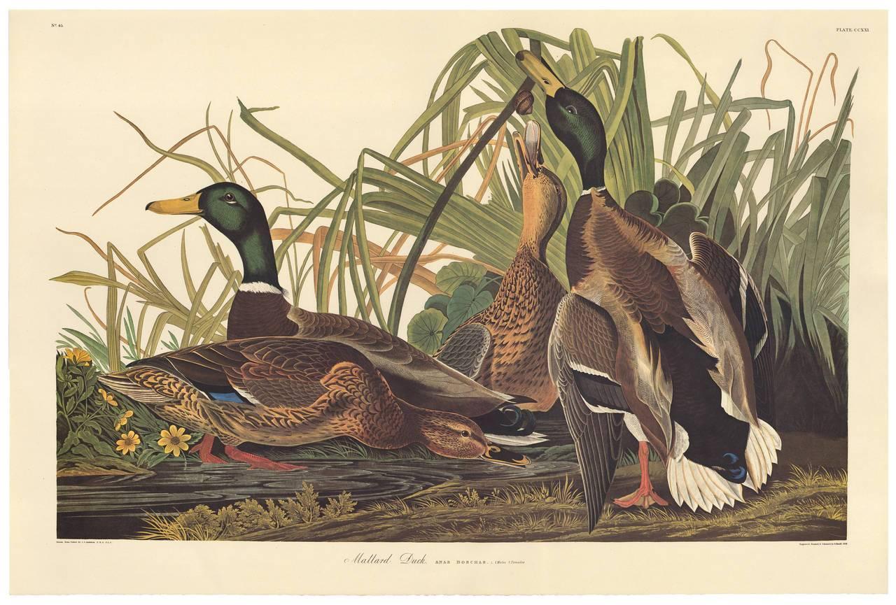 John James Audubon Mallard Duck By John James Audubon
