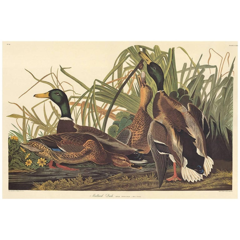 "Plate CCXXI, Mallard Duck by John James Audubon from The Birds of America, the Amsterdam Edition, printed in Amsterdam, 1971-73. Original multicolored photo-offset print. ""G Schut and Zonen"" watermark at lower edge of paper. A facsimile from the"