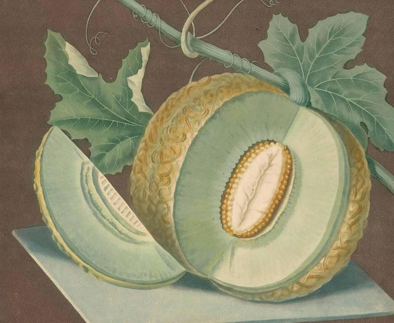 Plate LXIX [Green flesh or Candia melon] from Pomona Britannica; or, A collection of the most esteemed fruits...with the blossoms and leaves... by  George Brookshaw. London, T. Bensley for the author, 1812. Original aquatint with stipple engraving,