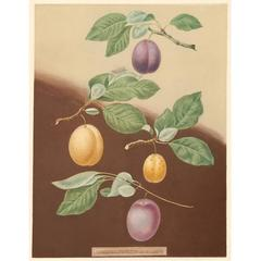 """Plums"" Aquatint by George Brookshaw"