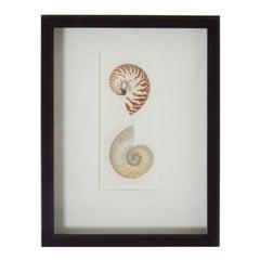 Nautilus Shell Specimen in a Shadow Box