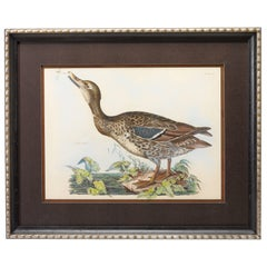 Wild Duck by Prideaux John Selby, Antique Hand-Colored Engraving, c. 1821-1834