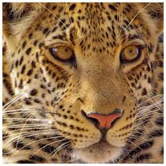 Magnificent Leopard Portrait Photograph