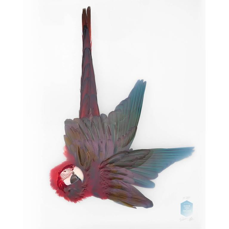 Art Print Titled 'Unknown Pose by Green-winged Macaw' by Sinke & van Tongeren