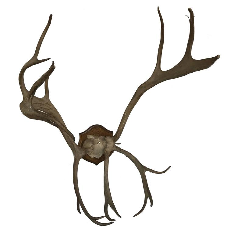 19th Century Mounted Antlers