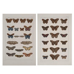 Antique Albertus Seba Pair 18th Century Hand-Colored Engravings Butterflies