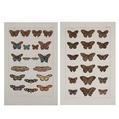 Albertus Seba Pair of 18th Century Hand-Colored Engravings of Butterflies