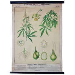 Vintage Italian Cannabis Educational Poster