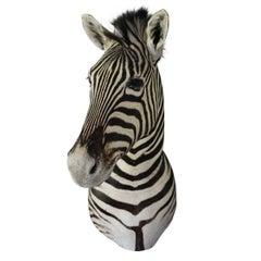Handsome Taxidermy Zebra Mount