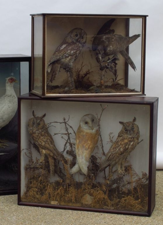 Taxidermy Owls image 2