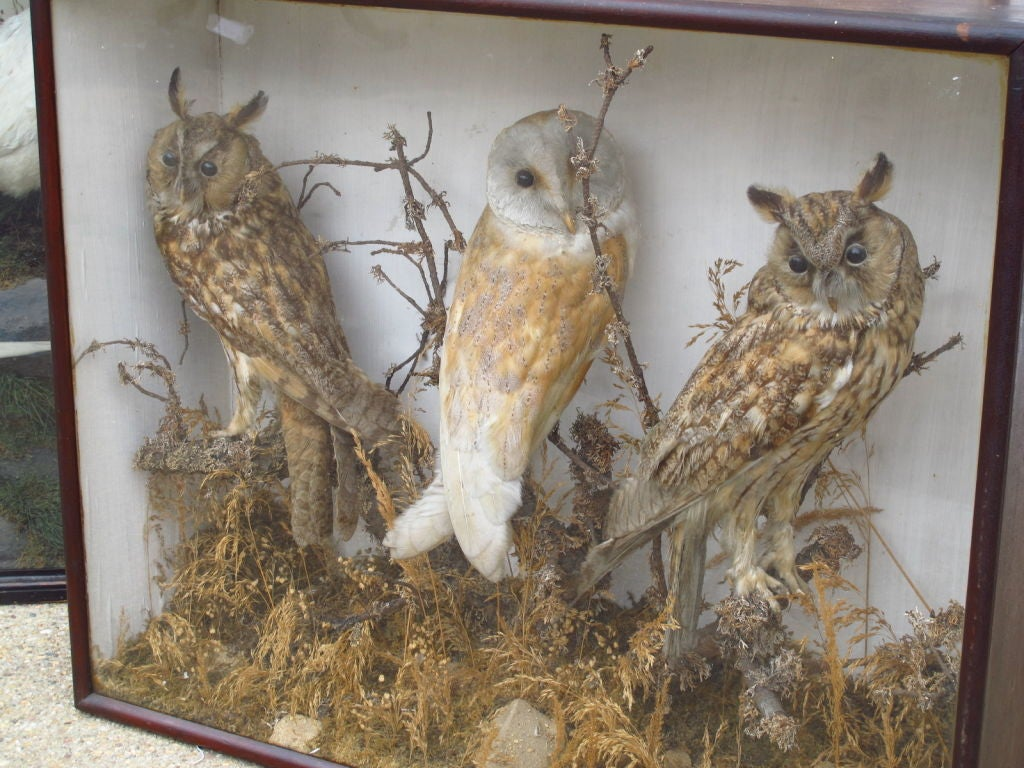 Taxidermy Owls image 3