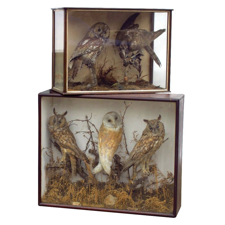 Taxidermy Owls