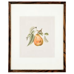 One from a Large set of Antique Prints of Fruit.