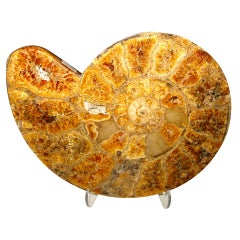 Sliced Ammonite 120 Million Years Old