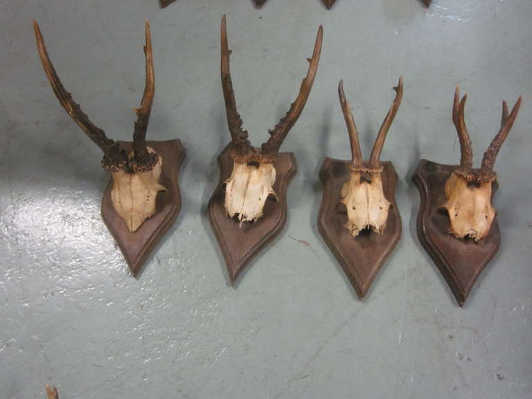 Collection of 20 Mounted Deer Antler / Horns For Sale 2